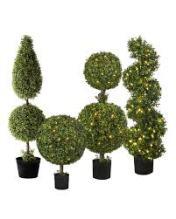 boxwoodtree 1