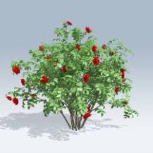 rose bush 1